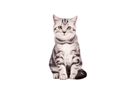 Portrait of a British Shorthaired Cat on a white background. Studio shot. Stock Photo