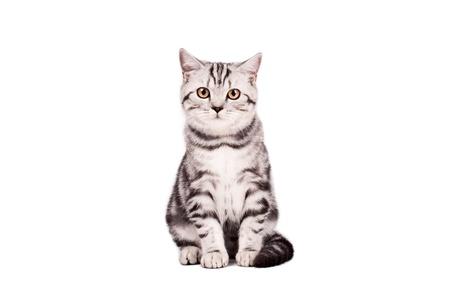 shorthaired: Retrato de un gato de pelo corto brit�nica sobre un fondo blanco. Estudio de disparo.