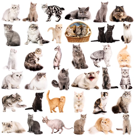maine cat: Group of 36 cats breeds in front of a white background