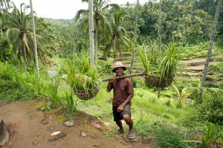 BALI- DECEMBER 29: Balinese farmer on a background of rice terraces . on Dec, 29, 2012 Bali, Indonesia.