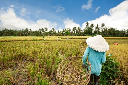 paddy fields: Female workers harvesting rice. Bali, Indonesia