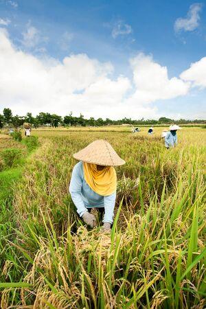 Female workers harvesting rice. Bali, Indonesia