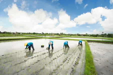 Balinese female farmers planting rice by hands.  Stock Photo