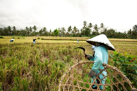 BALI - JANUARY 3 :Balinese female farmers plant rice by hands.   on JANUARY 3, 2013, Bali, Indonesia