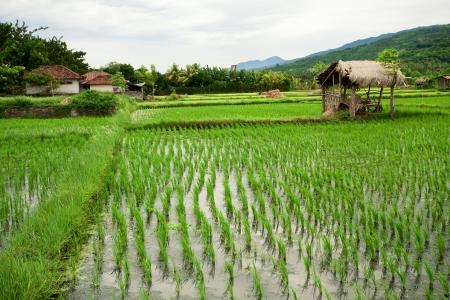non cultivated: Rice field. Bali, Indonesia Stock Photo