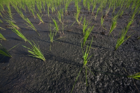 non cultivated: Rice field, Bali, Indonesia Stock Photo