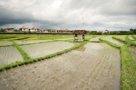 Rice field. Bali, Indonesia Stock Photo