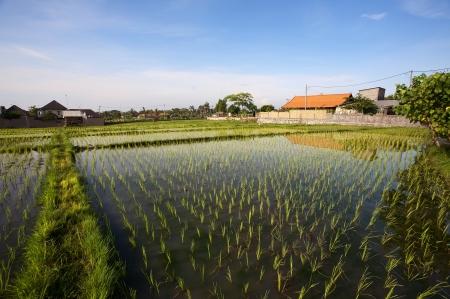 non cultivated: Rice field  Bali, Indonesia