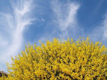 splendid: gorse and splendid blue sky