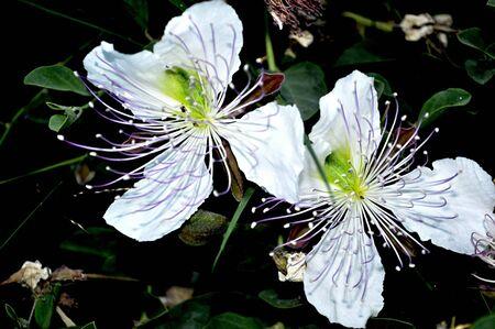 caper: caper blossoms