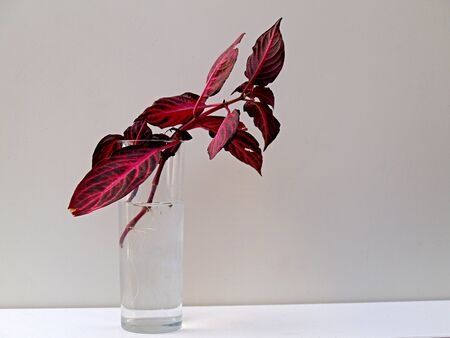 rooting: red coleus rooting in a glass