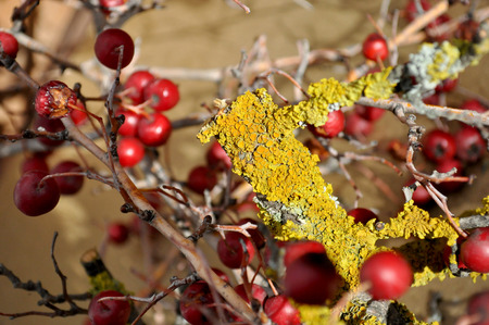 lichen: branches with lichen