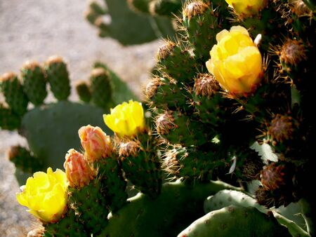 Prickly pears in a row of flowers and thorns Stock Photo