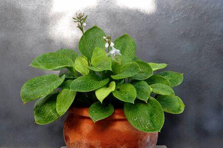 Pot with Hostas in bloom