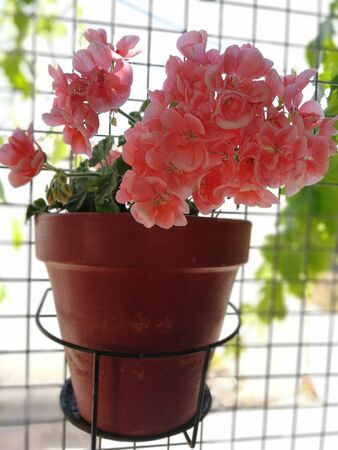 Pot of geraniums in a grate