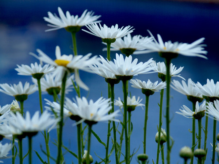 extreme close up: Very elegant afternoon garden with daisies