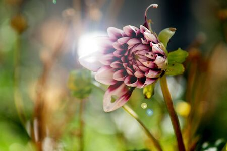 tend: Dahlia tend food by insects