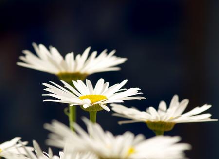 chamomile flower: Elegant daisies in the garden Stock Photo