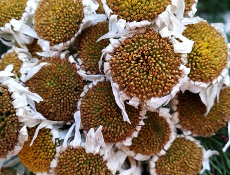 Dried daisies still life