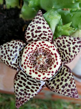 Orbea paradoxa, succulent flower
