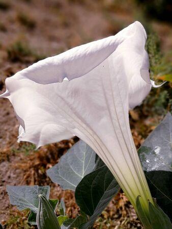 Stramonium white open flower Stock Photo - 83733884