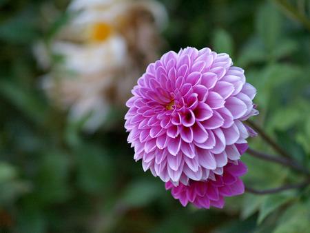 庭にかわいいピンクのダリア