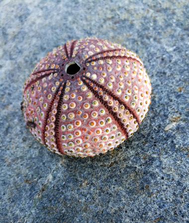 Sea urchin shell on the stones Imagens - 92503422