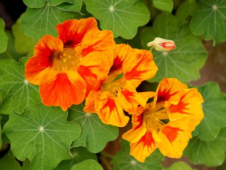 Nasturium in the garden