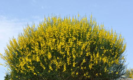 Broom bushes with yellow flowers stock photo picture and royalty broom bushes with yellow flowers stock photo 102250165 mightylinksfo