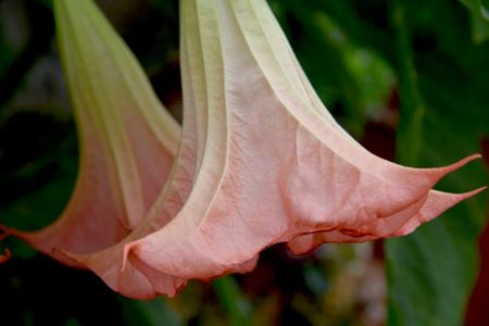 Brugmansia, Angels trumpet, pink stramonium