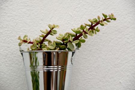succulent jade flower in a pot