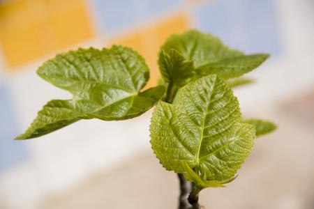 new leaves of fig tree Archivio Fotografico