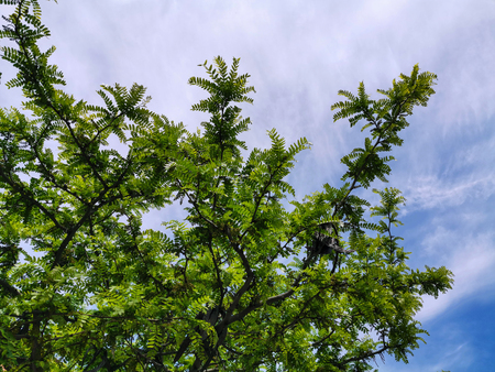 carob with green leaves over the sky