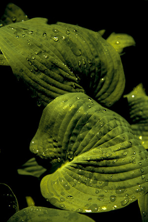 hostas leaves close-up at night with drops