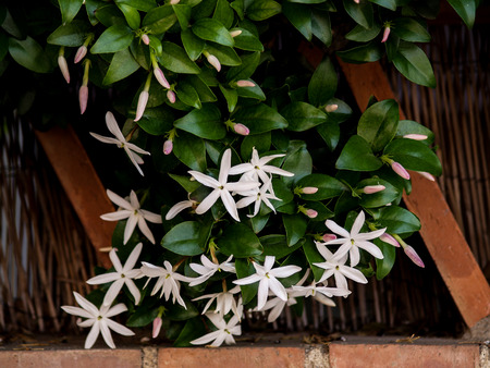 wild jasmine of southern Africa on bricks