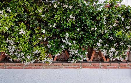 wild jasmine of southern Africa on bricks