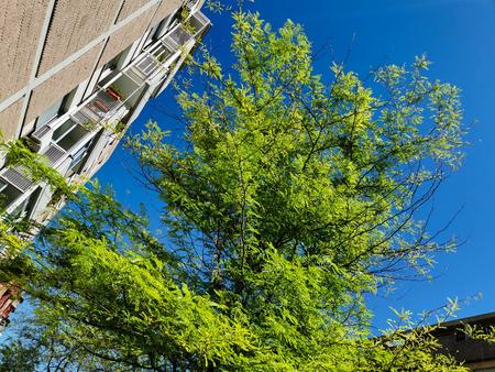 carob tree full of leaves on blue sky next to a apartmen block