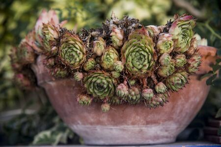 attractive succulent plant on clay pot
