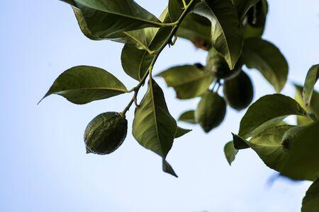ripening lemons on branch