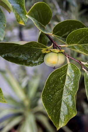 ripening persimmon on the branch with drops at leaves Фото со стока