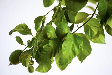 ripening lemons on branch Фото со стока - 128781692