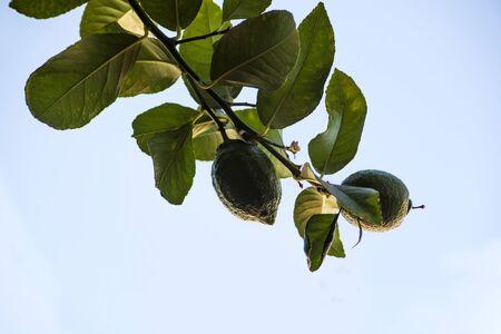 ripening lemons on branch Фото со стока - 128781694