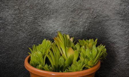elegant succulent plant on gray background 版權商用圖片