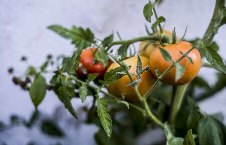 group of tomatoes ripening on branch Фото со стока - 128781775