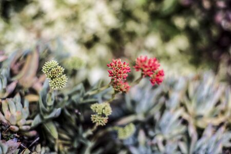 red delicate flowers of succulent plant 写真素材