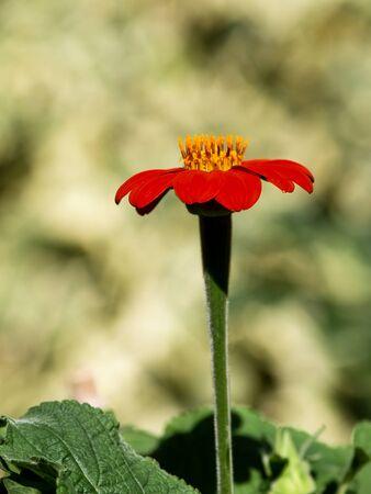 red echinacea in the garden