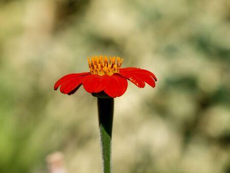 red echinacea in the garden Stockfoto - 128781831