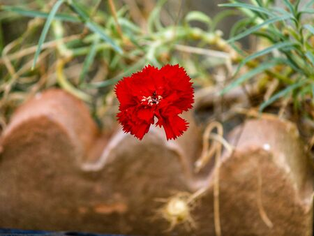 red carnation on brick