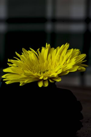 yellow gerbera on dark background 스톡 콘텐츠