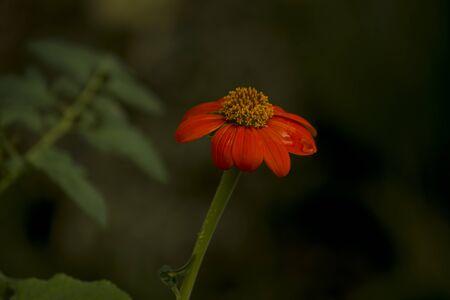 isolated echinacea flower on the garden